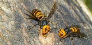 ハチ刺され対策